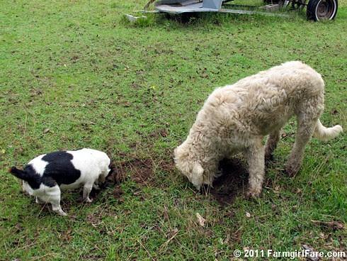 Bert and Marta on the Mole Patrol 1 - FarmgirlFare.com