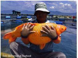 Download 61+ Gambar Asal Usul Ikan Mas HD Terbaru