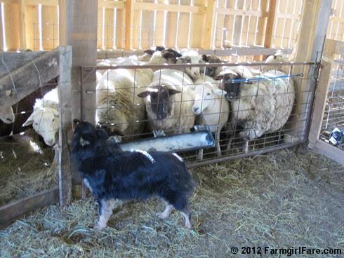 2012 Sheep shearing day 10 - FarmgirlFare.com