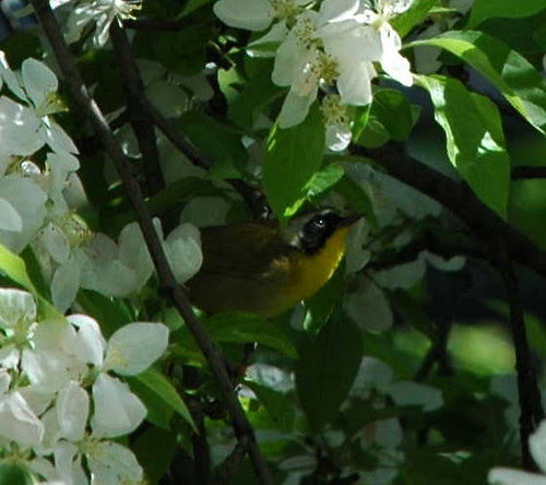 Common Yellowthroat in Apple Tree