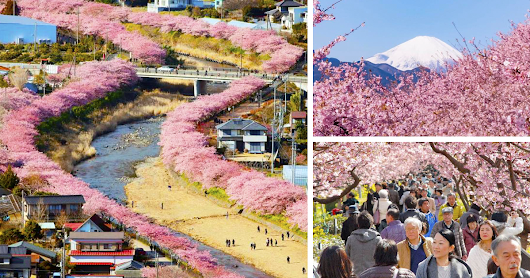 Cherry Blossoms In This Japanese Town Are Now In Full Bloom, And It Looks Out Of This World