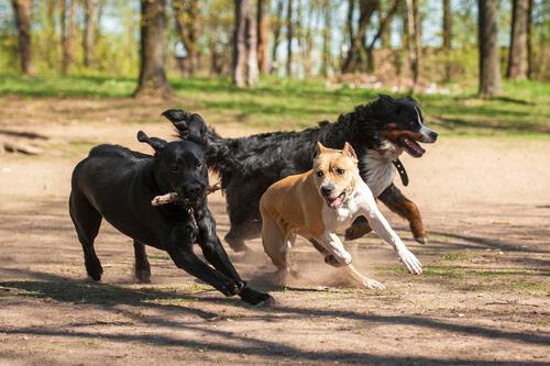 Prohíbe Senado las peleas de perros