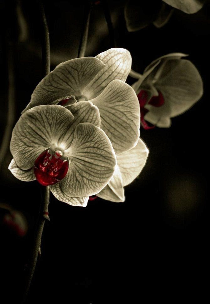 orchid, Alan Shapiro