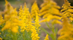 yellow-flowers-in-summer-wallpapers_34064_1366x768