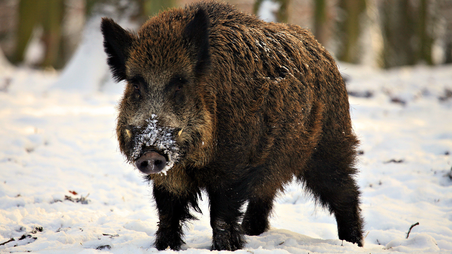 Tips for Hunting and Trapping Wild Hogs  Boarmasters  Bear, Hog, Deer, and Elk Bait, Lures