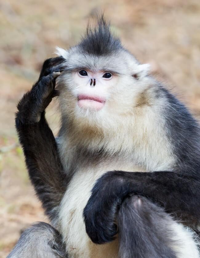القرد أفطس الأنف
