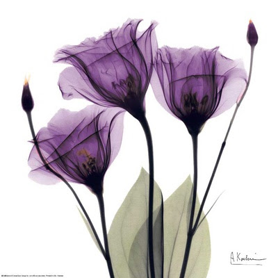 Royal Purple Gentian Trio por Albert Koetsier