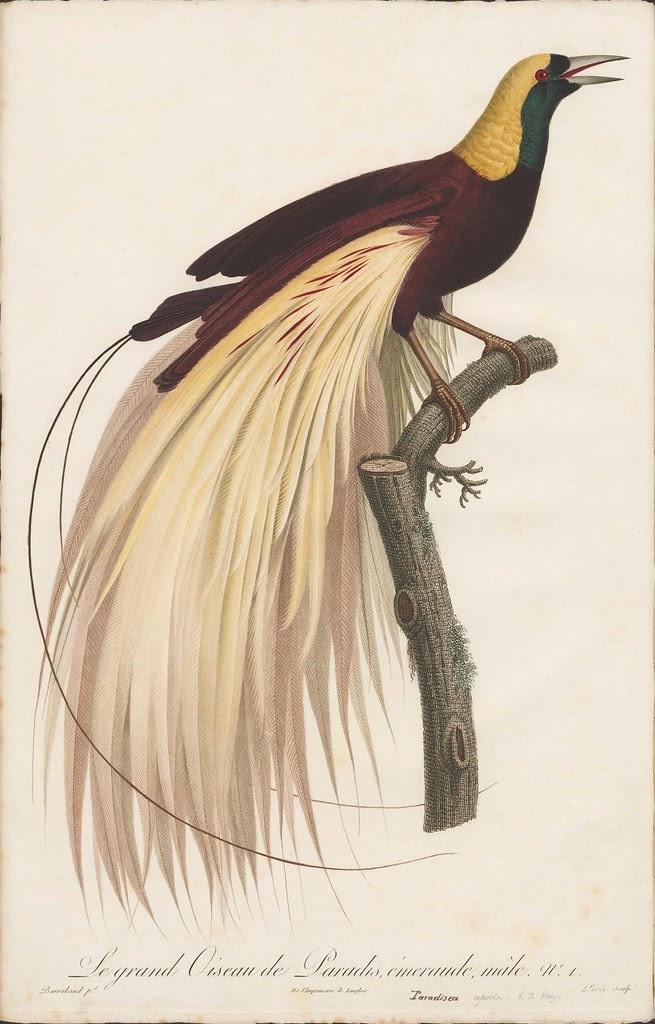Le petit Oiseau de paradis Emeraude, male no. 1