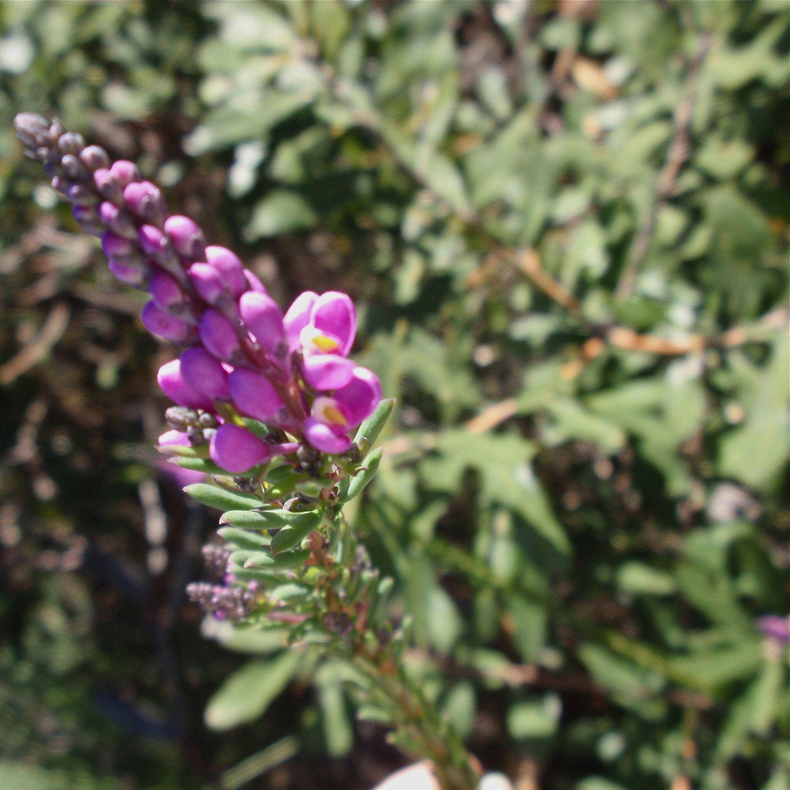 Lennox Head heath - purple