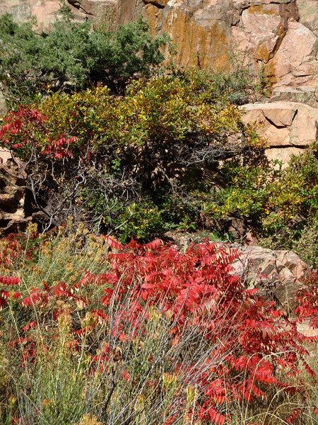 Sumac, oak brush and rock, Waterton Canyon, Colorado