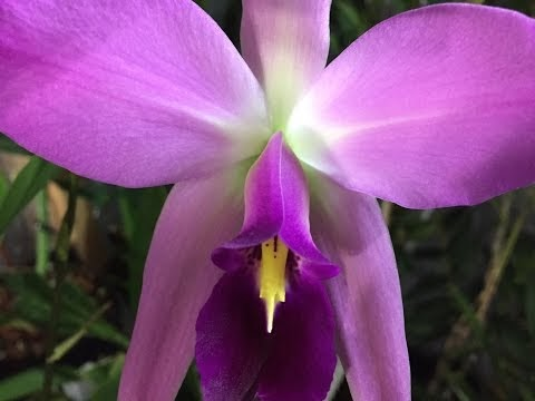 LAELIA ANCEPS ORCHID CARE: THE BIGGEST BLOOM SPIKES EVER!