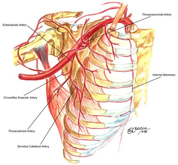 Axillary Artery Anatomy Human Anatomy
