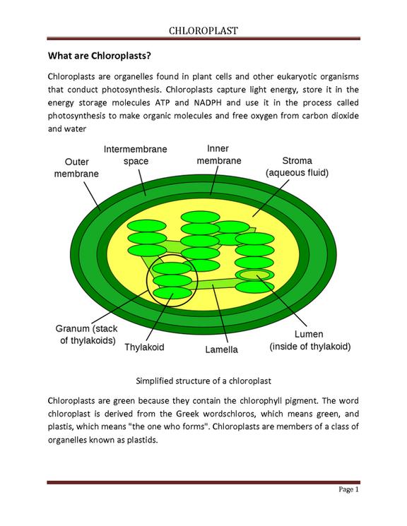 34 Chloroplasts And Mitochondria Worksheet   Worksheet ...