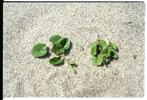 beachflowerleaves