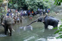 Elephant dies in India after eating explosive-stuffed fruit