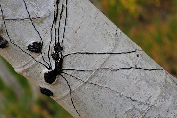 spider aspen!