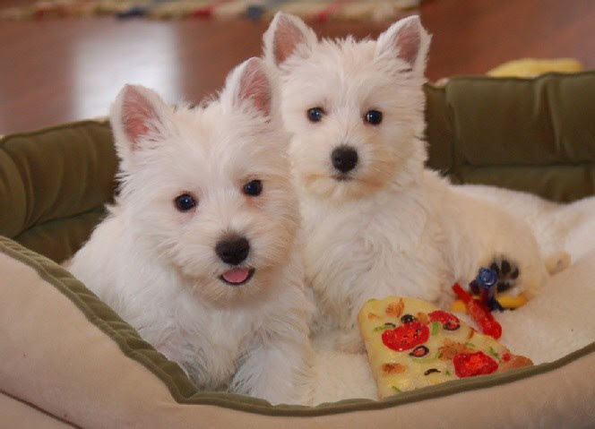 West Highland White Terrier, Dogs, Animals, Westie Puppies In Oklahoma USA