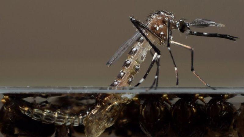 Aedes-aegypti-geneticamente-modificado-Oxitec