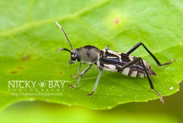 Longhorn Beetle (Cerambycidae) - DSC_4572