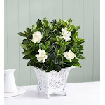 Flower Delivery by 1-800 Flowers Grand Gardenia Small Plant