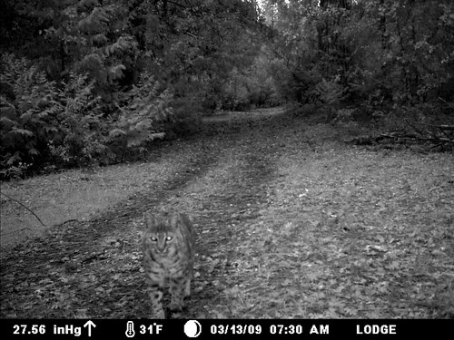 bobcat on the trail
