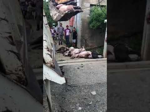 Ver Vídeo: Llenan un Camión de cerdos contagiados de la fiebre porcina