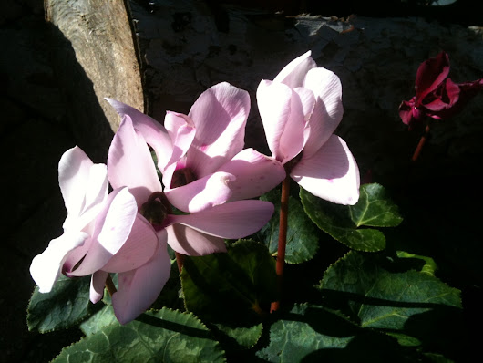 Cyclamen, the winter colors