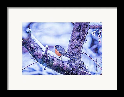 American Robin Perched On Blooming Peach Tree In Spring Snow Framed Print