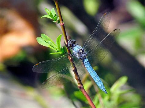 dragonfly insect scientific  anisoptera higher