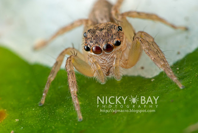 Jumping Spider (Salticidae) - DSC_5955