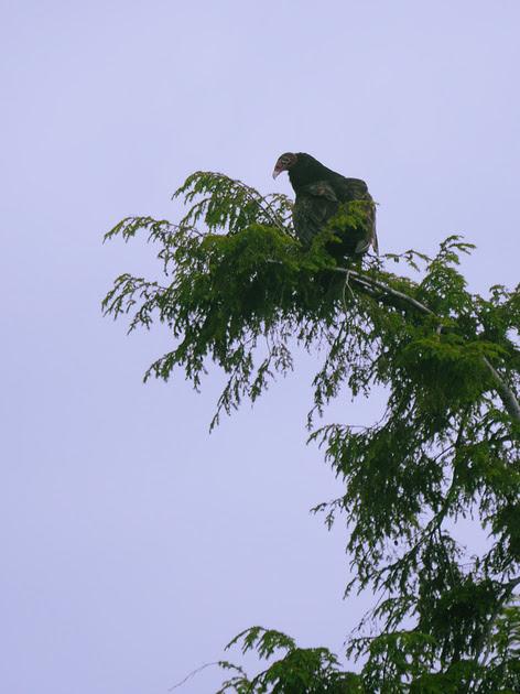 Ed Gaillard: birds &emdash; Turkey Vulture, Prattsville NY