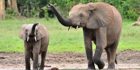Poachers Have All But Emptied This 'Sanctuary' Of Forest Elephants