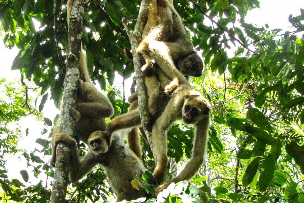Os muriquis-do-norte parecem ser menos susceptíveis à febre amarela. Foto: Carla Possamai/Projeto Muriqui de Caratinga.