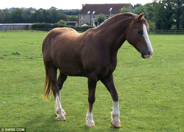 Unrecognisable: Jerry is lean and happy after being cared for by an animal charity and having his hooves trimmed