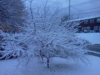 apricot tree & snow