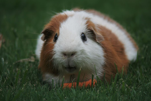 Do Guinea Pigs Make Good Pets? | PetHelpful