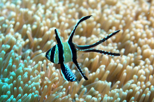 Banggai cardinal fish: Stanford be blowing' ma' mInd, again and again