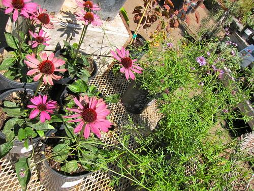 "Echinacea ""Little Magnus"" and Verbena"