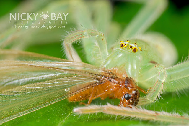 Huntsman Spider (Sparassidae) - DSC_8823