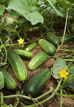 Cucumbers grow on vines