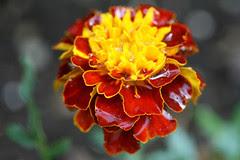 garden flowers  040