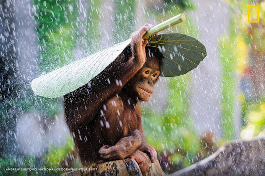 "r/pics - ""Just before I put my camera away, I saw this orangutan take a taro leaf and put it on top on his head to protect himself from the rain,"" writes Your Shot photographer Andrew Suryono. On World Orangutan Day"