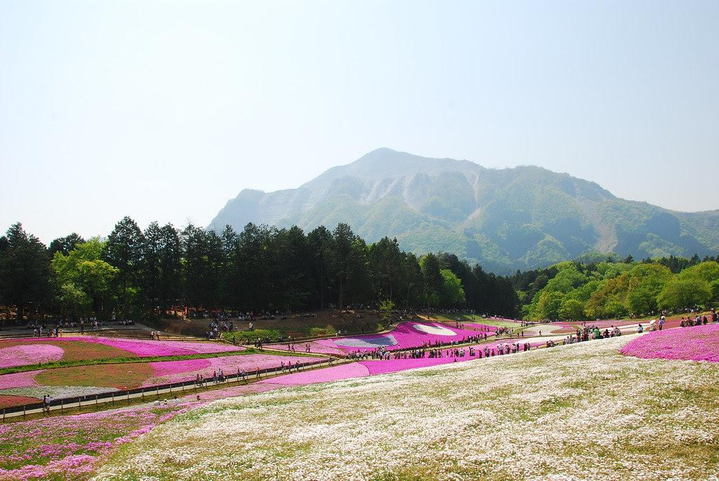 Shibazakura Landscape