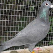 Great Looking 1 pair Homa pigeon ( urgent )