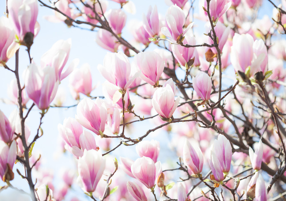 The Best Flowering Trees In The Spring In North Carolina Point Of Blue