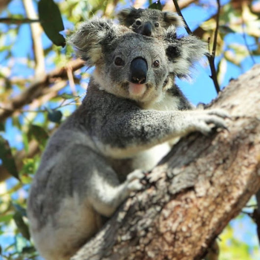 Mining company given approval to clear critical koala habitat for CSG wells