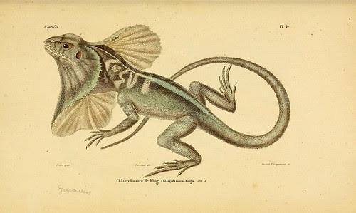 Chlamydosaure de King