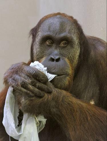 Orangotango que assobia em zoo alemão lançará CD