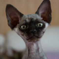 Black Smoke Devon Rex Kitten