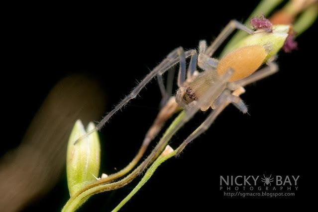 Sac Spider (Clubionidae) - DSC_3170
